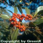 Fruchtende Stechpalme Ilex 80-100cm - ilex aquifolium