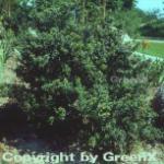Löffel Ilex Stechpalme 15-20cm - ilex crenata