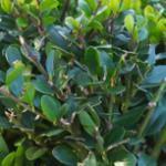 Löffel Ilex Dark Green 20-25cm - Ilex crenata