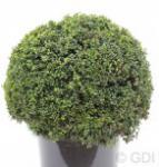 Kugelschnitt Japanische Stechpalme Ilex Glori Gem 30-40cm - Ilex crenata