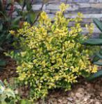 Gelber Bergilex Stechpalme 40-50cm - ilex crenata