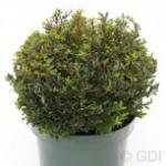 Kugelschnitt Japanische Stechpalme Ilex Twiggy 25-30cm - Ilex crenata