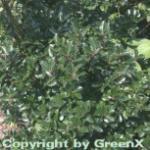 Stechpalme Ilex männlich Blue Prince 100-125cm - ilex meserveae