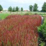 Japanisches Blutgras Red Baron - großer Topf - Imperata cylindrica