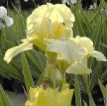 Mittelhohe Schwertlilie Maui Moonlight - Iris barbata