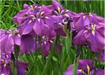 Zwergschwertlilie Cyanea - Iris barbata nana