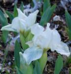 Zwergschwertlilie Lilly White - Iris barbata nana