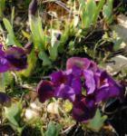 Zwergschwertlilie Little Shadow - Iris barbata