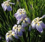 Japanische Sumpf Schwertlilie Aquamarin - Iris ensata