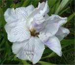 Japanische Sumpf Schwertlilie Topas - Iris ensata