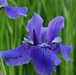 Sibirische Wieseniris Taubenblau - Iris sibirica