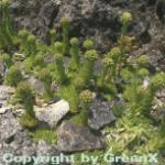 Bulgarische Kugel Hauswurz - Jovibarba globifera