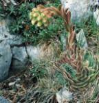 Dachwurz - Jovibarba heuffelii