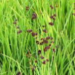 Zwergbinse - Juncus ensifolius