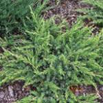 Kriechwacholder Slager 20-30cm - Juniperus conferta Slager