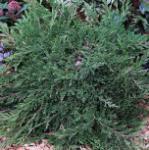 Teppichwacholder Wiltonii 20-30cm - Juniperus horizontalis