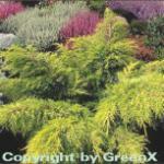 Goldgelber Wacholder Old Gold 10-15cm - Juniperus media
