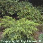 Gelber Pfitzerwacholder 40-60cm - Juniperus media