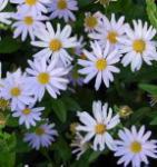Schönaster Blue Star - Kalimeris incisa