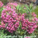 Rotes Lorbeerröslein 40-50cm - Kalmia angustifolia