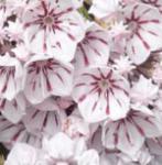 Berglorbeer Peppermint 30-40cm - Kalmia latifolia