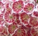 Berglorbeer Pinwheel 40-50cm - Kalmia latifolia