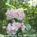 Großer Berglorbeer 60-70cm - Kalmia latifolia