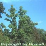 Baum Kraftwurz 40-60cm - Kalopanax septemlobus
