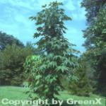 Kleiner Baum Kraftwurz 60-80cm - Kalopanax septemlobus maximowiczii