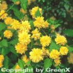 Ranunkelstrauch 60-80cm - Kerria japonica