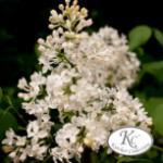 Edelflieder Schneeweißchen - Kircher-Collection 30-40cm - Syringa hyacinthiflora