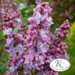 Hochstamm Edelflieder Victor Lemoine - Kircher-Collection 60-80cm - Syringa vulgaris