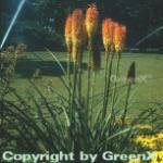 Fackellilie Royal Standard - Kniphofia Hybrid