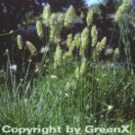 Schillergras - großer Topf - Koeleria glauca