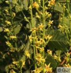 Säulen Blasenbaum Septembergold 100-125cm - Koelreuteria paniculata