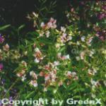 Wald Wicke Alboroseus - Lathyrus vernus