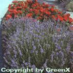 Echter Lavendel Munstead - Lavandula angustifolia