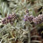 Breitblättriger Lavendel Speik - Lavandula latifolia