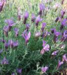 Schopf Lavendel Little Bee Purple - Lavandula stoechas