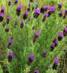 Schopf Lavendel Papillon - Lavandula stoechas