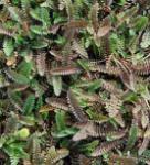 Feines Fiederpolster - Leptinella potentillina