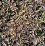 Dunkles Fiederpolster Platt's Black - Leptinella spualida