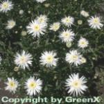 Gartenmargerite Christine Hagemann - Leucanthemum