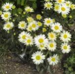 Gartenmargerite Silberprinzesschen - Leucanthemum
