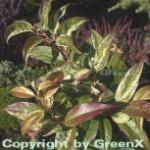 Buntblättrige Traubenheide Rainbow 40-60cm - Leucothoe walteri