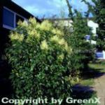 Glanz Liguster 40-60cm - Ligustrum lucidum