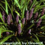 Lilientraube - Liriope muscaria