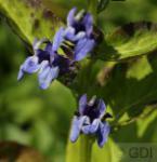 Lobelie Blaue Auslese - Lobelia siphilitica