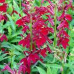 Prachtlobelie Burgundy - Lobelia speciosa