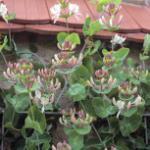 Jelängerlelieber 60-80cm - Lonicera caprifolium